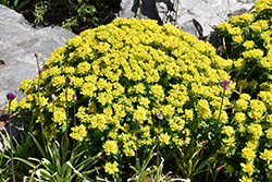 Cushion Spurge (Euphorbia polychroma) at Longfellow's Greenhouses