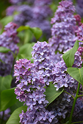 President Lincoln Lilac (Syringa vulgaris 'President Lincoln') at Longfellow's Greenhouses