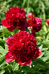 Red Charm Peony (Paeonia 'Red Charm') at Longfellow's Greenhouses