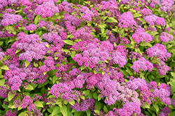 Magic Carpet Spirea (Spiraea x bumalda 'Magic Carpet') at Longfellow's Greenhouses