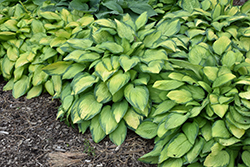 Paul's Glory Hosta (Hosta 'Paul's Glory') at Longfellow's Greenhouses