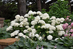 Annabelle Hydrangea (Hydrangea arborescens 'Annabelle') at Longfellow's Greenhouses