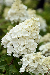 Strawberry Sundae® Hydrangea (Hydrangea paniculata 'Rensun') at Longfellow's Greenhouses