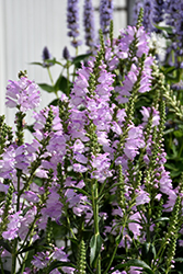Pink Manners Obedient Plant (Physostegia virginiana 'Pink Manners') at Longfellow's Greenhouses