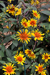 Burning Hearts False Sunflower (Heliopsis helianthoides 'Burning Hearts') at Longfellow's Greenhouses