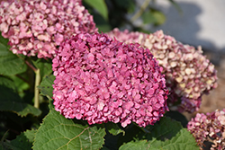 Invincibelle® Mini Mauvette Hydrangea (Hydrangea arborescens 'NCHA7') at Longfellow's Greenhouses