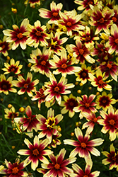 Red Chiffon Tickseed (Coreopsis 'Red Chiffon') at Longfellow's Greenhouses
