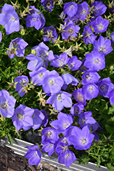 Rapido Blue Bellflower (Campanula carpatica 'Rapido Blue') at Longfellow's Greenhouses