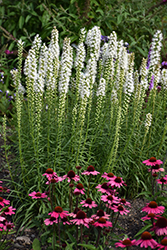 Floristan White Blazing Star (Liatris spicata 'Floristan White') at Longfellow's Greenhouses