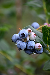 Chippewa Blueberry (Vaccinium 'Chippewa') at Longfellow's Greenhouses