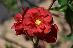 Double Take Scarlet™ Flowering Quince (Chaenomeles speciosa 'Double Take Scarlet Storm') at Longfellow's Greenhouses