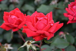Double Knock Out® Rose (Rosa 'Radtko') at Longfellow's Greenhouses