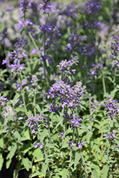 Little Trudy Catmint (Nepeta 'Psfike') at Longfellow's Greenhouses