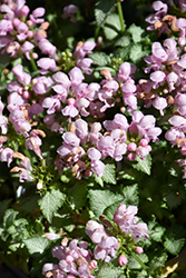 Pink Pewter Spotted Dead Nettle (Lamium maculatum 'Pink Pewter') at Longfellow's Greenhouses