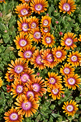 Fire Spinner Ice Plant (Delosperma 'Fire Spinner') at Longfellow's Greenhouses