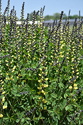 Decadence® Lemon Meringue False Indigo (Baptisia 'Lemon Meringue') at Longfellow's Greenhouses