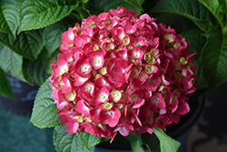 Summer Crush® Hydrangea (Hydrangea macrophylla 'Bailmacfive') at Longfellow's Greenhouses