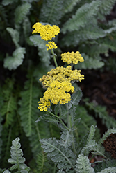 Sassy Summer Silver Yarrow (Achillea 'Sassy Summer Silver') at Longfellow's Greenhouses
