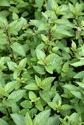 Chocolate Mint (Mentha x piperita 'Chocolate') at Longfellow's Greenhouses