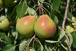Parker Pear (Pyrus 'Parker') at Longfellow's Greenhouses