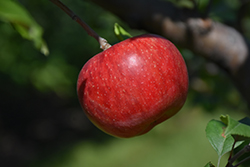 Wolf River Apple (Malus 'Wolf River') at Longfellow's Greenhouses