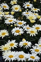 Banana Cream Shasta Daisy (Leucanthemum x superbum 'Banana Cream') at Longfellow's Greenhouses