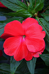 Sonic® Red New Guinea Impatiens (Impatiens 'Sonic Red') at Longfellow's Greenhouses
